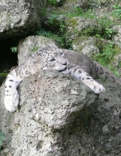 Leopard - Zoo Salzburg